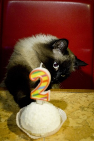 Beautiful cat with blue eyes and birthday cake.