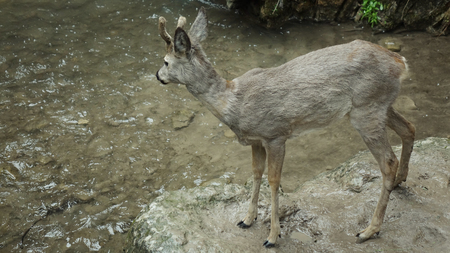 Deer at the mountain stream