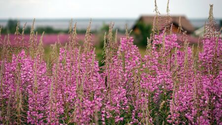 Ivan-tea blooms in the field. a perennial plant is one of willowherb family.
