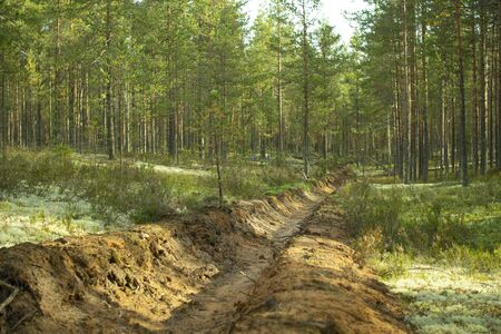 Prevention of forest fires. Protection of forests from fires. Young pine trees in the forest on a Sunny day.