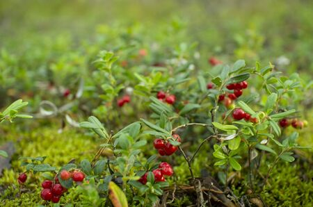 Cranberries in the woods.Ripe red cowberry grows in a pine forest on the moss