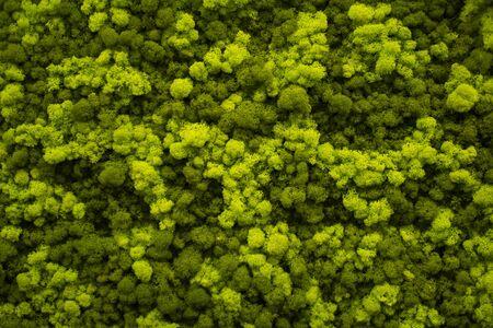 Moss wall, green wall decoration made of natural moss. Stockfoto - 147984195