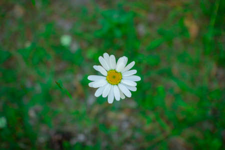 Flower of a forest Daisy on a blurred background of grass Stockfoto