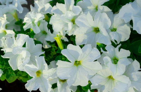 Petunia. A delicate flower. The Bush petunias. Flower bed. Stockfoto