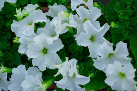 Petunia. A delicate flower. The Bush petunias. Flower bed. Stok Fotoğraf - 152049103