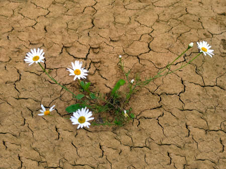A white Daisy in the dry, cracked soil.