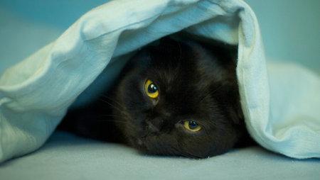 Portrait of a black cat lying under a blue blanket. Zdjęcie Seryjne - 161951375