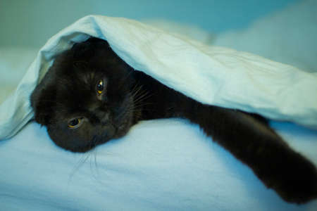 Portrait of a black cat lying under a blue blanket. Zdjęcie Seryjne