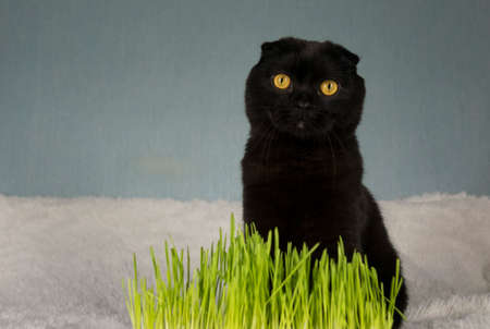 Black cat with home-grown green grass. Wheat grass for feeding domestic animals.