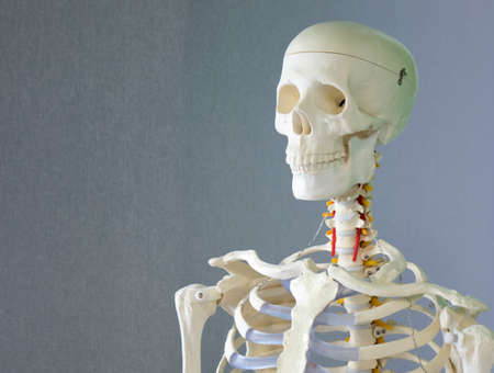 A human skeleton, a training dummy. The concept of healthcare.