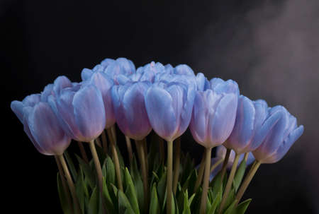 A bouquet of blue tulips on a black background. Space for the text .
