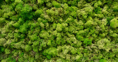 Natural moss in nature. Green moss background texture Stok Fotoğraf