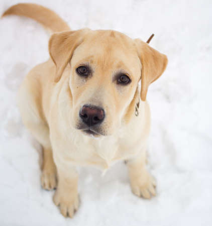 fawn labrador retriever on a winter walk