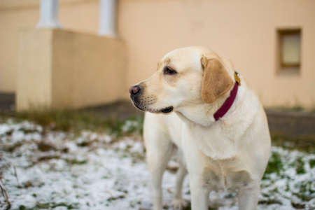 Fawn Labrador Retriever with a red collar is on the first snow on the street.
