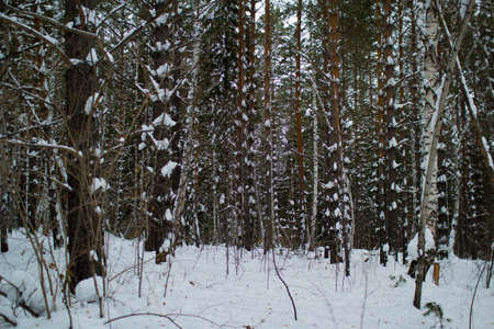Winter forest, Siberia Russian taiga outdoor