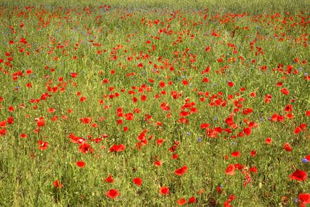 paysage: Poppy field near Jozefow. Poland