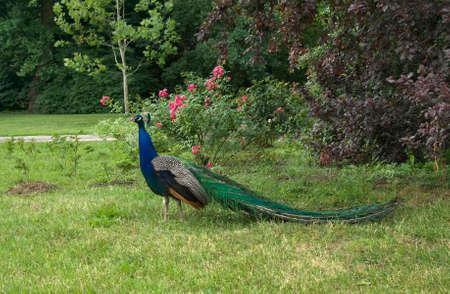 lazienki: Peacock in Lazienki Park. Warsaw. Poland