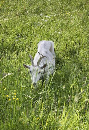 belarus: Goat in Prazaroki. Belarus