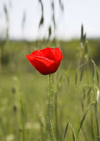paysage: Flower in Studenci. Bosnia and Herzegovina