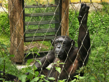 chimpances: Berlín Jardín Zoológico. Alemania Foto de archivo