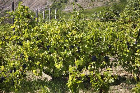 Vineyard in Old Orhei. Moldova