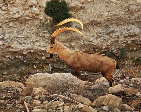 Rock hyrax in Ein Gedi national park. Israel Stock Photo