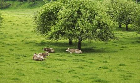 Pasture near Tolmin. Slovenia