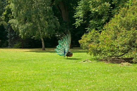 Peacock in Lazienki Park. Warsaw. Poland