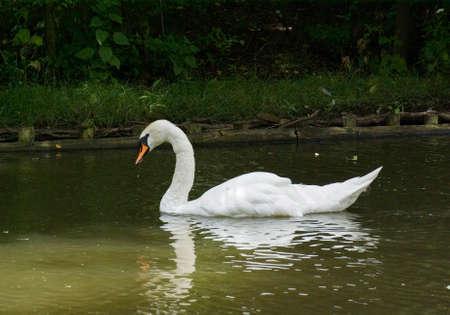 Swan in Lazienki Park. Warsaw. Poland
