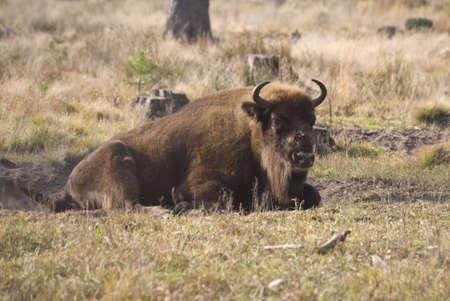 bovid: Bison in Belarus