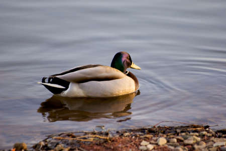 Duck in Moscow Stock Photo - 2885097
