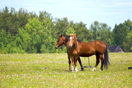 yawning: Horses family in the willage