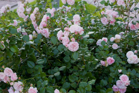 citypark: more roses in city-park