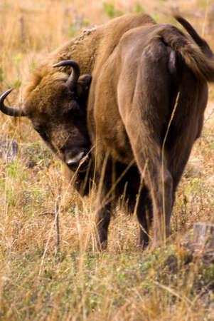 Bison in Belarus photo