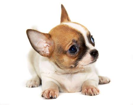 perro chihuahua: Chihuahua perro aislado
