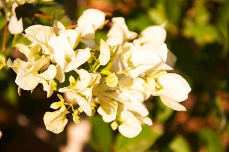 bougainvillea flowers: Bougainvillea flowers  Stock Photo