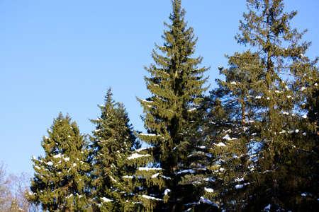Beautiful winter forest landscape  in Russia photo