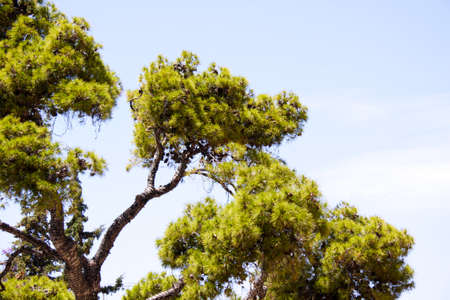 sithonia: Pine on the mountain in Greece