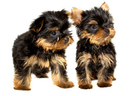 Yorkshire Terrier puppy on the white background Stock Photo