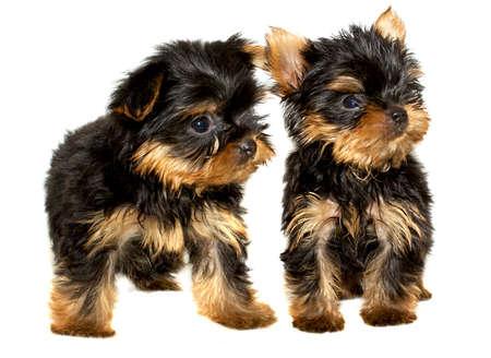 yorky: Yorkshire Terrier puppy sobre el fondo blanco