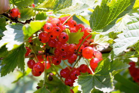 Red currant on the branch photo