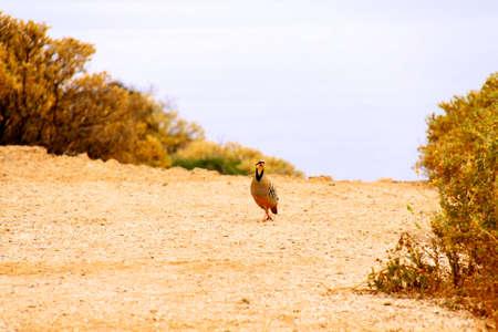 hunted: Perdiz durante uno cazado en la naturaleza