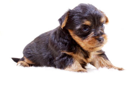 Puppy yorkshire terrier on the white background Stock Photo - 7950108