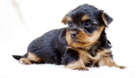 Puppy yorkshire terrier on the white background Stock Photo - 8308450