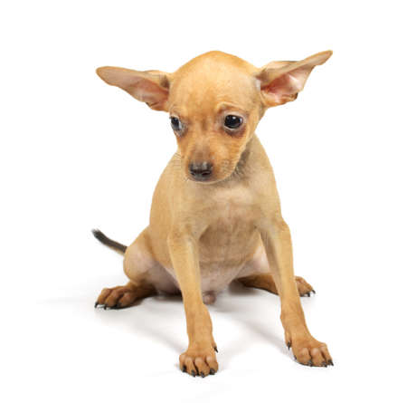 toyterrier: Toy-terrier puppy on the white Stock Photo