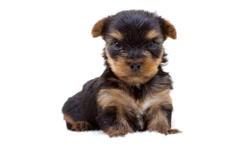 Puppy yorkshire terrier on the white background Stock Photo - 8632917