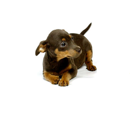 curios: Chihuahua small puppy on the white Stock Photo