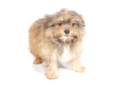 curios: chihuhua puppy isolated on the white background