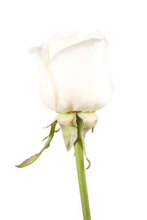 White rose flower close-up isolated on white background photo