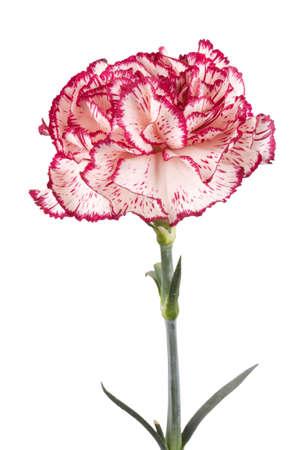 Beautiful pink carnation on a white background photo